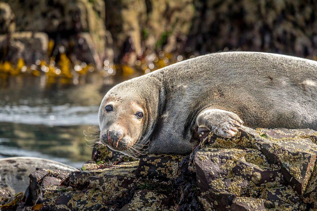 Grey Seals Farne Island Photography